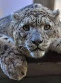 cropped-snow-leopard.jpg