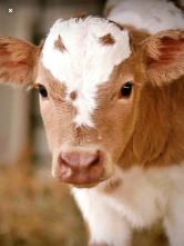 Cute Calf