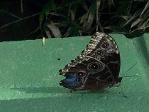 Eye-Butterfly