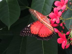 Pink Monarch Butterfly